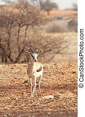 Springbok (Antidorcas marsupialis) in the Kalahari Desert,...