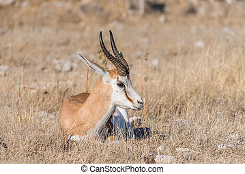 Springbok, Antidorcas marsupialis, laying between grass - A...