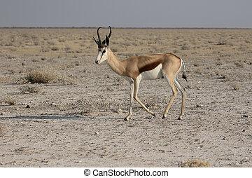 Springbok, Antidorcas marsupialis, single mammal, Namibia,...