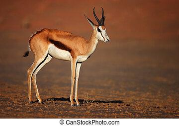 Springbok; Antidorcas Marsupialis; South Africa; Kalahari...