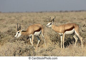 Springbok, Antidorcas marsupialis, two mammals, Namibia,...