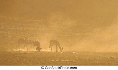 Springbok at sunrise - Springbok antelopes (Antidorcas...