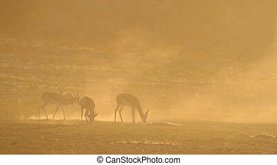 Springbok at sunrise - Springbok antelopes (Antidorcas...