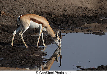 Springbok at the waterhole in the Etosha National Park,...