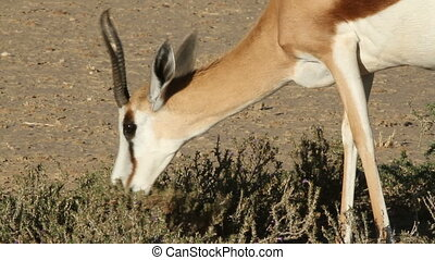 Springbok browsing - Close-up of a springbok antelope...