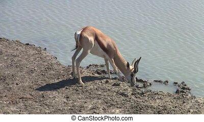 Springbok Drinking at Waterhole in Etosha, Namibia