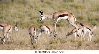 Springbok herd prancing on a plain in the Kgalagadi