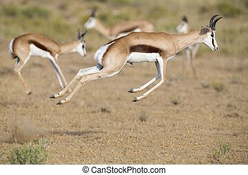 Springbok herd prancing on a plain in the Kgalagadi