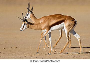 Springbok in the kalahari on plain in sun watchful two