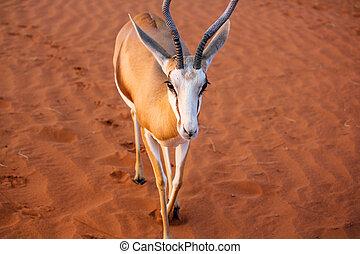Springbok on dunes