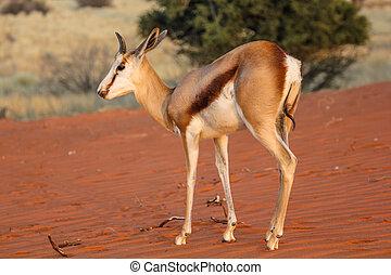 Springbok on red dunes