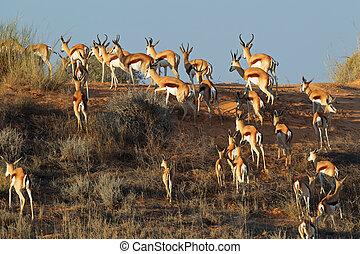 Springbok on sand dune - Springbok antelopes (Antidorcas...