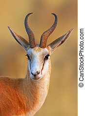 Springbok portrait - Close-up portrait of a Springbok in...