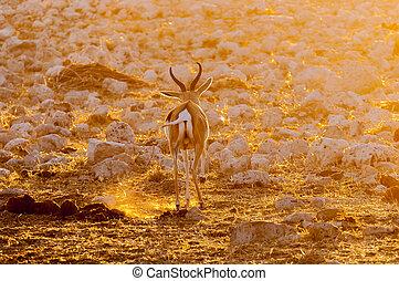 Springbok ram walking in last rays of the setting sun