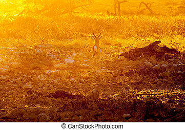 Springbok ram walking in last rays of the setting sun