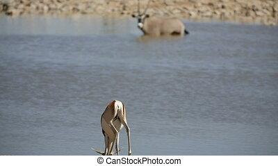 Springbok - Rear view of Springbok drinking water against...