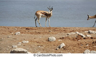Springbok - Side view of Springbok couple against waterhole