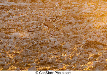 Springbok walking between white, calcrete, rocks at sunset