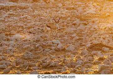 Springbok walking between white, calcrete, rocks at sunset