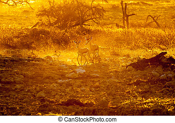 Springbok walking  in the last rays of the setting sun
