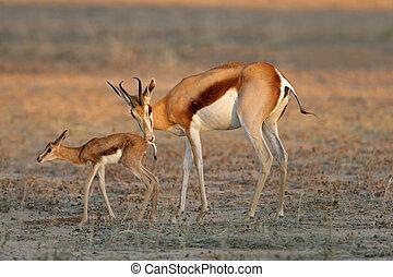 Springbok with lamb - A springbok antelope (Antidorcas...
