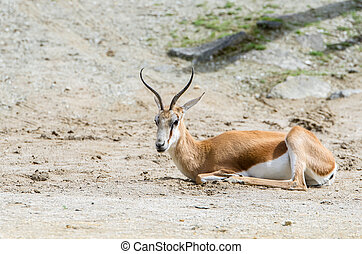 Springboks (Antidorcas marsupialis) lying on the ground.