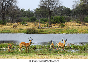 Springboks (Antidorcas marsupialis) standing at the bank of the Khwai River in the Moremi National Park, Botswana