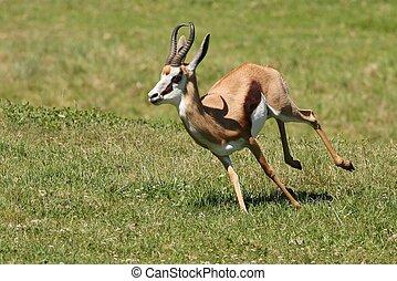 Springbuck Antelope Running - Springbuck antelope from...