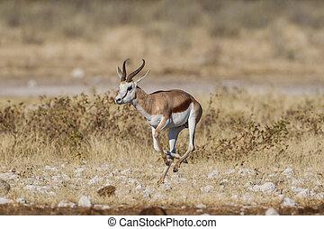 springbuck, parc, national, namibie, etosha