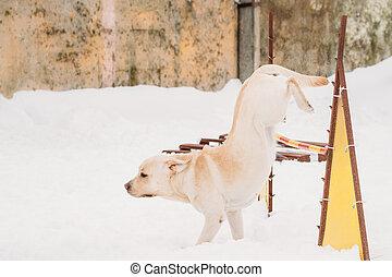 springende , hund, schnee, spielende , labrador, draußen, winter, season.