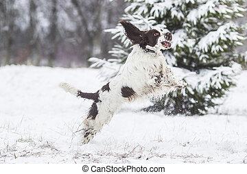 springer spaniel dog in winter