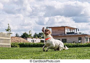 Springer Spaniel Dog playing in a garden