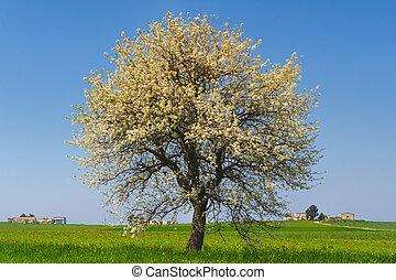 Spring:flowering tree on a field.