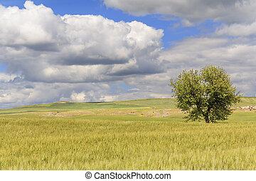 Springl:tree in wheat field.