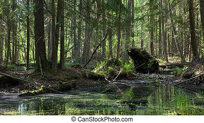 Springtime alder-bog forest - Springtime alder bog stand...