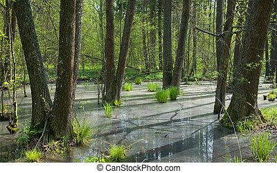 Springtime alder bog forest with standing water in sunny day