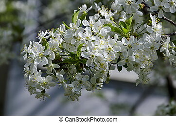 Springtime - an morello cherry tree branch with flowers