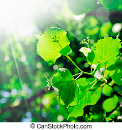 The rays of the sun stream down on the succulent young green leaves and growth on a tree in springtime