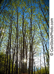 Springtime Aspen Trees - Looking up into the canopy of a...