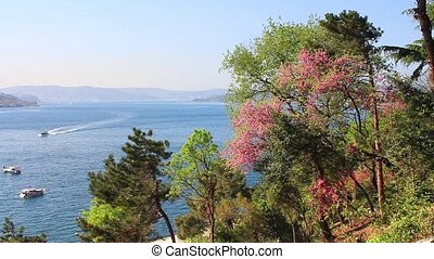 Springtime at Bosphorus - Judas and pine trees in Istanbul,...