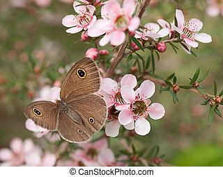 Springtime Australian Dingy Ring or Dusky Knight Ypthima arctous butterfly ID on native wildflower leptospernum pink cascade flowers in spring