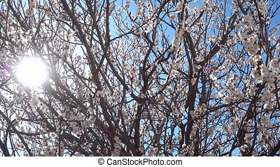 Springtime, beautiful blooming apricot tree at sunny day. -...