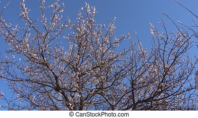Springtime, beautiful blooming apricot tree. - Springtime,...