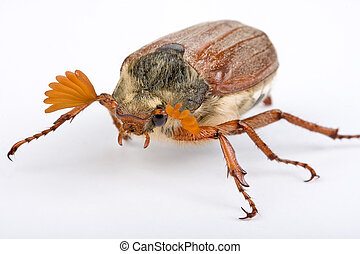 Springtime beetle - Maybug beetle showing his beautiful...