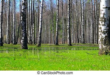 Springtime birch forest