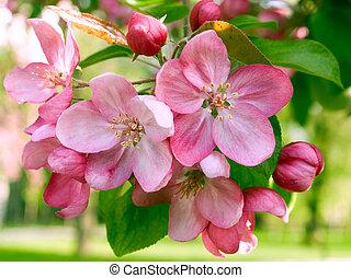 Springtime. - Blossoming apple.