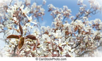 Blossoms in springtime