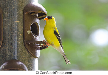 Springtime brings little Yellow birds, American Goldfinch (Spinus tristis).