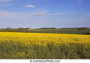 springtime canola crop