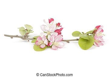Springtime crabapple flowers on a single stalk with a white...